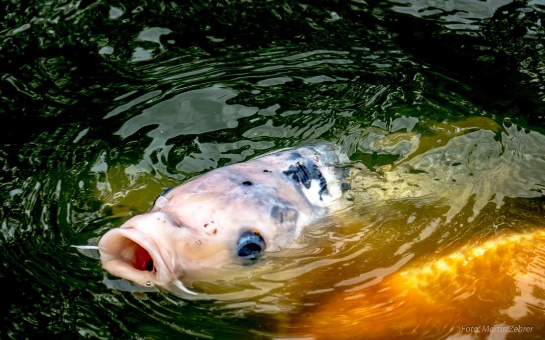 Foto bzw bilder koi karpfen beim f ttern diese fische for Zierfische teich